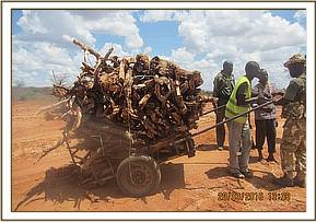 A cart with two men full of dry wood