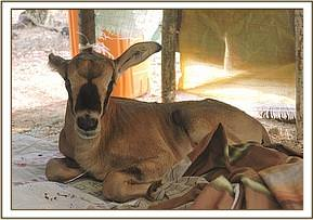 A BABY ORYX RESCUED AT GALANA