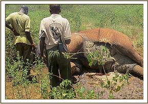 An elephant carcass found
