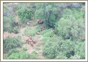 Wild eles seen by aerial recce