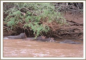 A FAMILY OF HIPPOS SIGHTED AT TSAVO RIVER