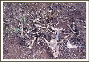 Remains of an Impala