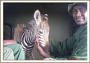 Baby zebra in the back of the Ziwani team vehicle
