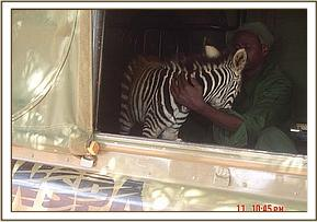 The baby zebra in the WSPA team vehicle