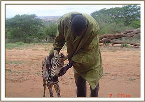 The baby zebra at with one of its rescuers