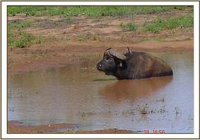 The Buffalo wallowing at Nthalakana
