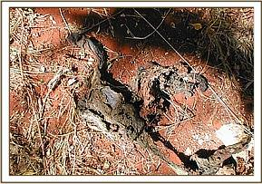 Remains of snared impala