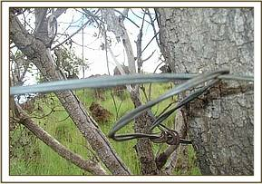 A large snare attached to a tree