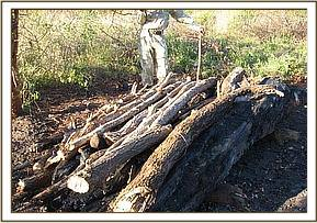 Pile of wood for logging