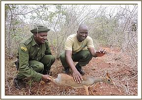 Team members rescue a dikdik from a snare