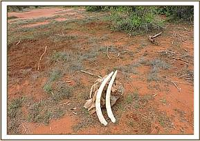 An old elephant carcass sighted by the pilot