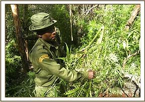 Uprooting and destroying bhang in chyulu park