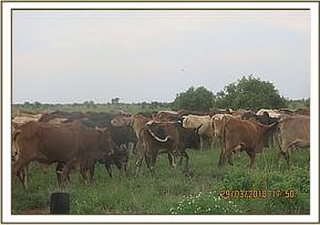 Illegal grazing at Serengeti area
