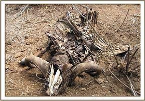 Remains of the snared buffalo