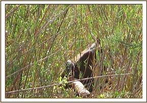 The snared buffalo hidden in the reeds