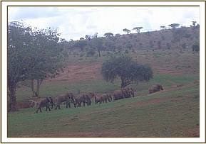 A herd of elephant at tsavo west