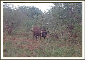 A buffalo sighted during game drive