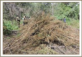 A pile of dry bhang ready for burning
