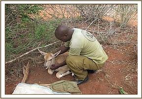 Rescuing the orphaned eland calf