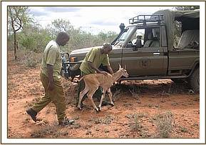 The rescued eland at the desnaring vehicle