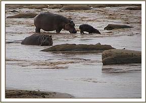 Hippos seen at lugards falls during the trip
