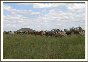 Illegal livestock in the park area