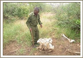 Old elephant carcass found at triangle area