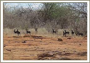 A GROUP OF WILDDOGS SIGHTED IN UMAUMA AREA