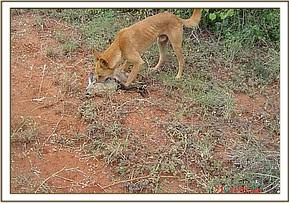 A dog killing wildlife