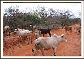 Cattle browsing in the park