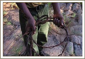 Desnaring team member with a recovered snare