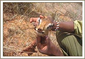 Remains of the snared dikdik