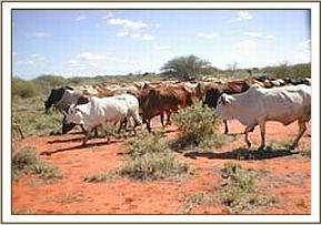 Illegal grazing of cattle in the park