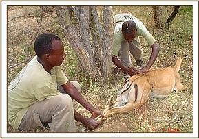 Removing the snare from the female impala