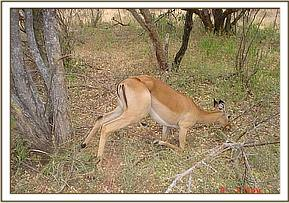 A young female impala is found alive in a snare