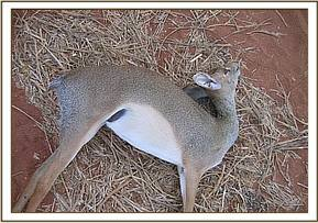 Dikdik killed by the gate attedants snare