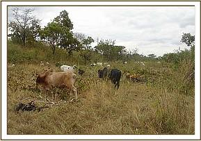 Cattle grazing in the park