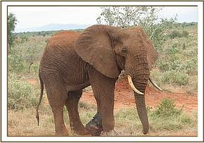 The snared elephant after treatment