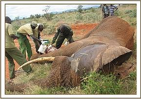 Treating a wounded elephant