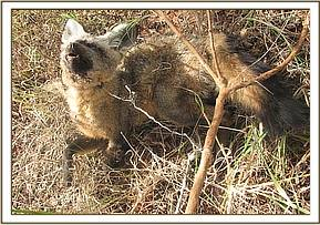 Snared bat eared fox