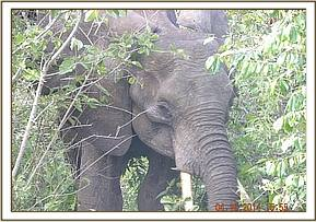 Ele sighted at kaunguni area (6)