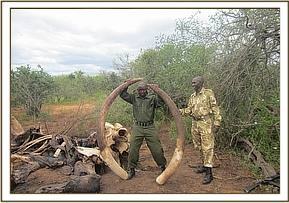 Elephant carcass found with both tusks intact