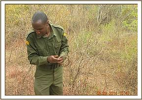 Lifing small snares at Kibwezi forest