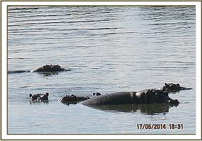 Hippos seen at Athi river