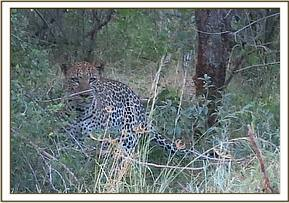 A leopard hunting in Manyani area