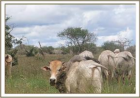 Cattle grazing and evicted from the park