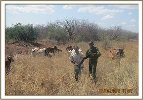 herder arrested at bondeni area