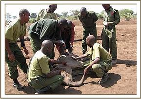 trying to rescue the orphaned calf