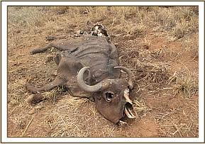 buffalo carcass at taita-hills
