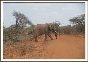 Elephant sighted in Tsavo west natinal park